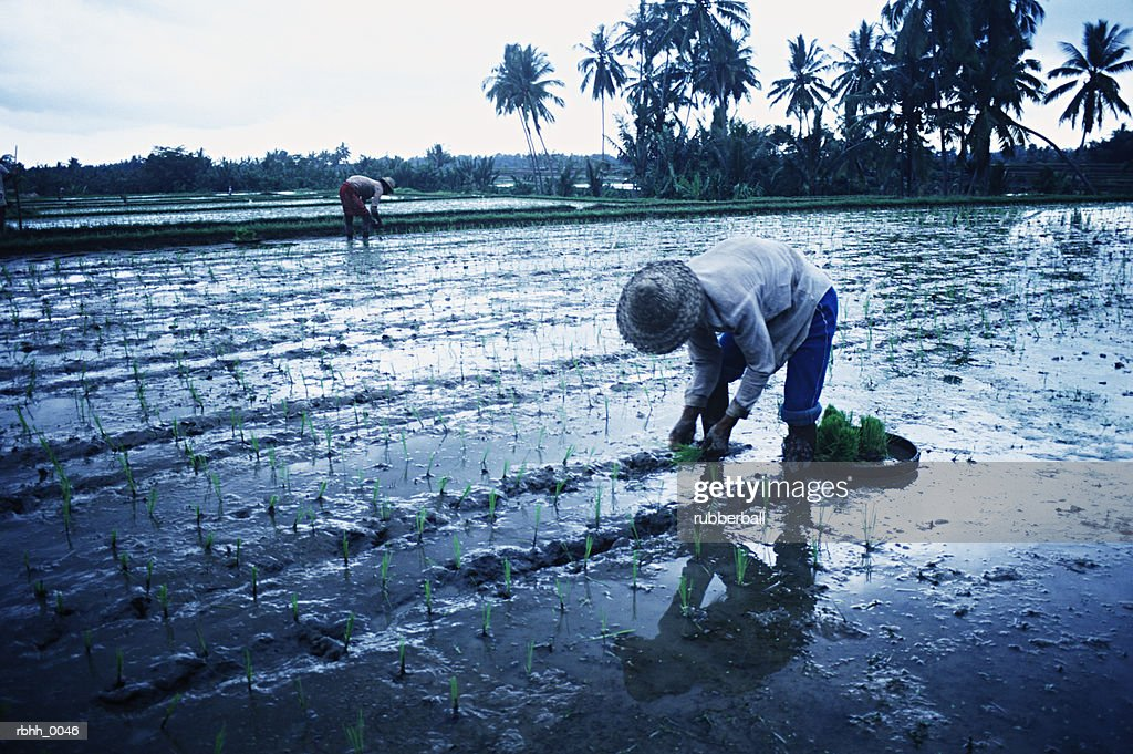 lifestyle photograph of two worker as they plant and tend to their rice fields : Stockfoto