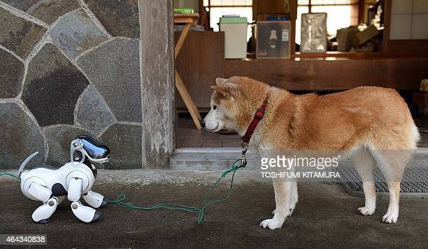 LifestyleelectronicsJapanrobotSony by Miwa Suzuki 'Kuma' the Shiba Inu looks at AIBO playing after the funeral for 19 Sony's pet robot AIBOs at the...