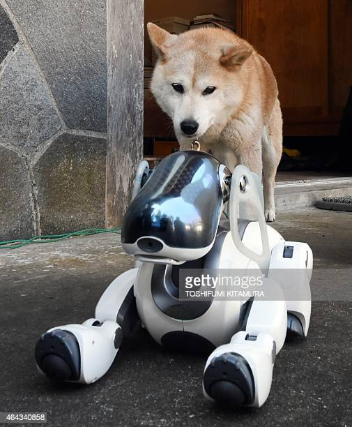 LifestyleelectronicsJapanrobotSony by Miwa Suzuki Kuma the Shiba Inu looks at AIBO playing after the funeral for 19 Sony's pet robot AIBOs at the...
