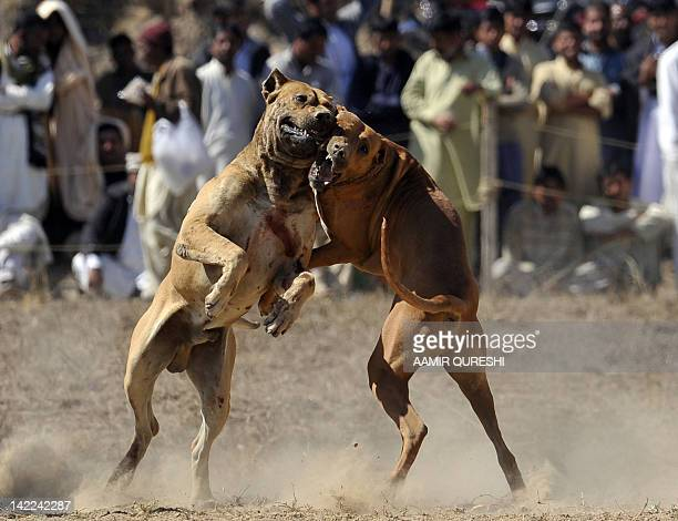 """STORY """"LifestylePakistanenvironmentanimalFEATURE"""" by Khurram Shahzad In this photograph taken on February 29 2012 shows fighting dogs lunge at each..."""