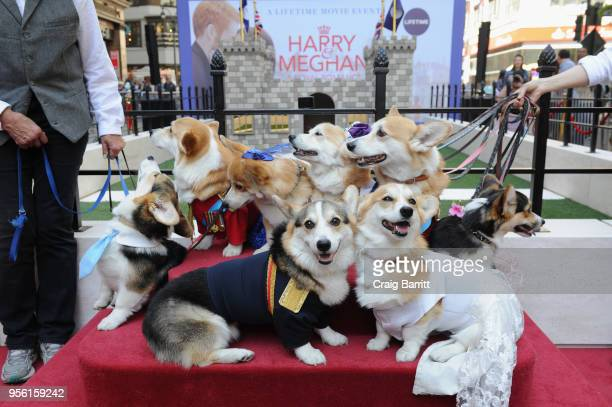 Lifetime's Corgi Court in celebration of Harry Meghan A Royal Romance premiering on May 13 at Herald Square on May 8 2018 in New York City