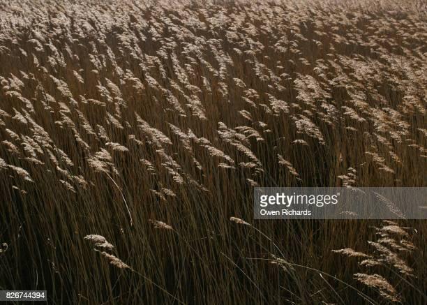 Light against tall grass reeds