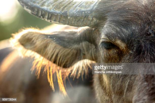 light and Buffalo eye