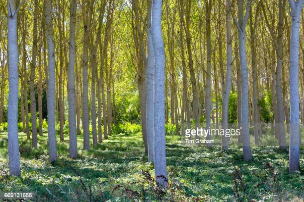 Light and shade tall Birches managed plantation copse of Silver Birch European White Birch Trees Betula Pendula France
