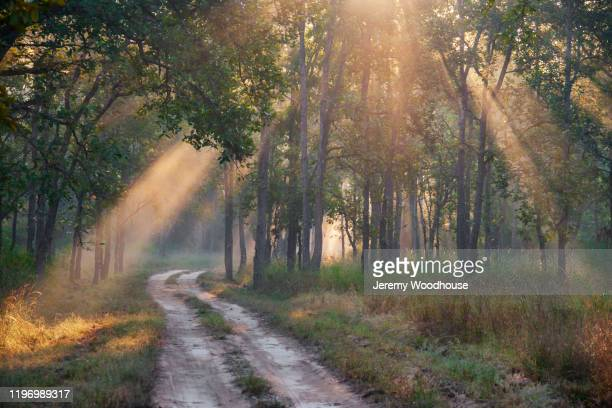 light beams in the jungle - bandhavgarh national park stock pictures, royalty-free photos & images