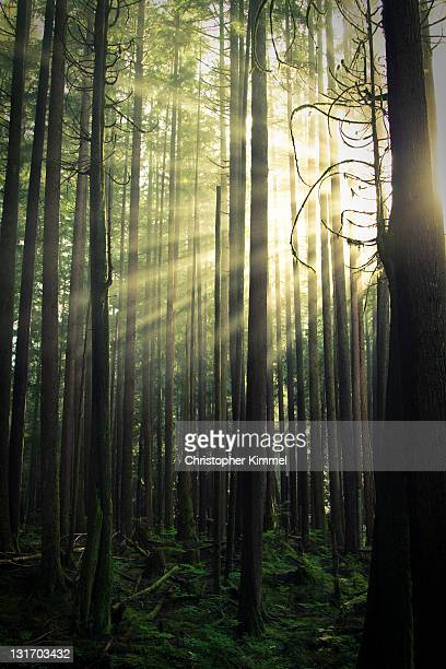 Light beams shine through mossy forest