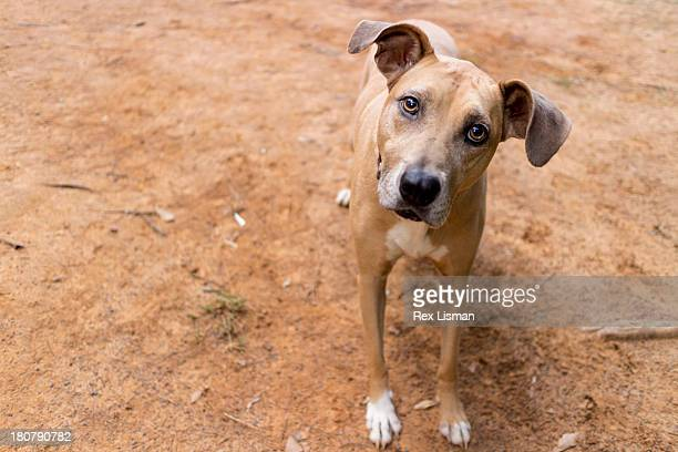 A light brown dog looking directly at the camera