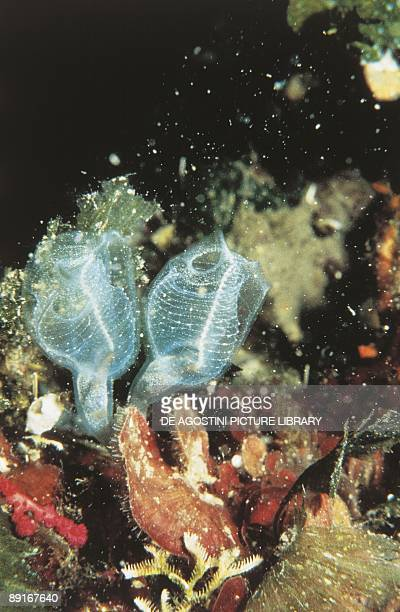 Light bulb tunicate underwater