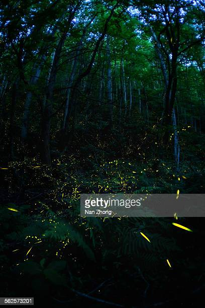 light dance - fireflies stock pictures, royalty-free photos & images