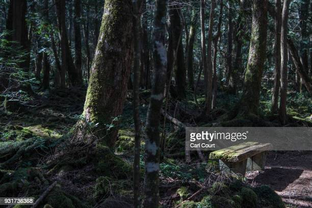 Light falls on a mosscovered bench in Aokigahara forest on March 14 2018 in Fujikawaguchiko Japan Aokigahara forest lies on the on the northwestern...