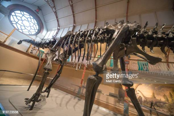 Light from a window shines on Dippy the dinosaur a diplodocus skeleton on loan from the Natural History Museum as it is unveiled at Dorset County...