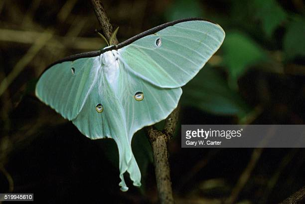 light green luna moth[?] - luna moth stock pictures, royalty-free photos & images