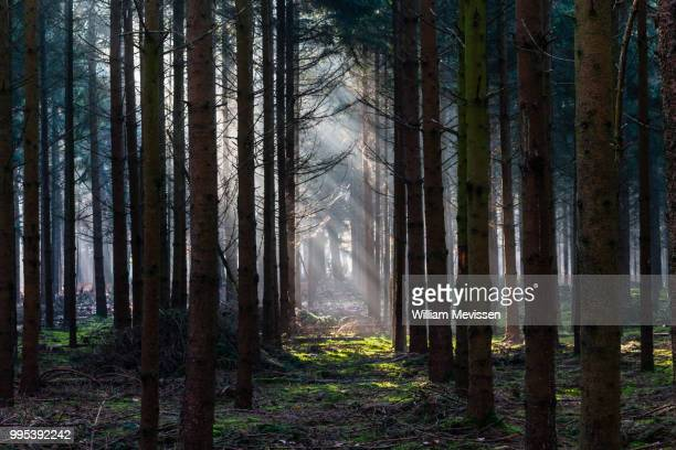 light in the dark forest - william mevissen stock pictures, royalty-free photos & images