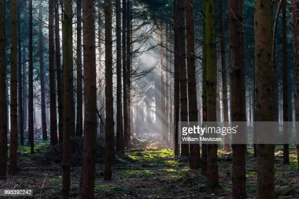 light in the dark forest - william mevissen imagens e fotografias de stock
