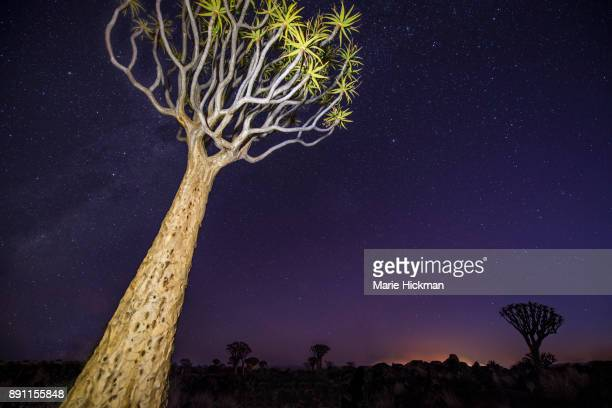 Light painted Quiver Tree at night in Quiver Tree Forest a tourist destination in Namibia.