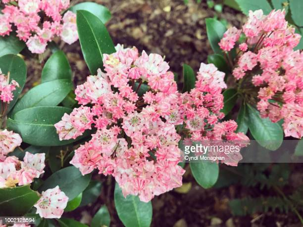 light pink mountain laurel blossoms - mountain laurel stock pictures, royalty-free photos & images