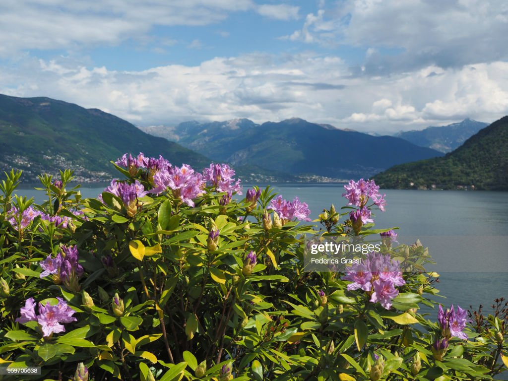 Light Purple Rhododendrons On Lake Maggiore, Northern Italy : Stock-Foto