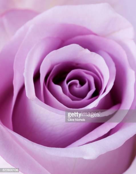 Light Purple Rose