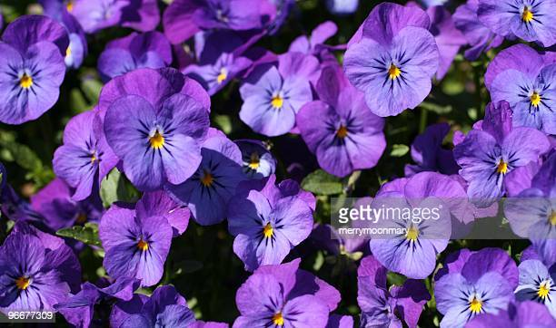 light purple violet pansies - violet flower stock photos and pictures