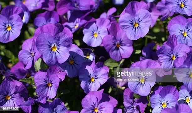 紫のパンジーが咲き乱れヴァイオレット