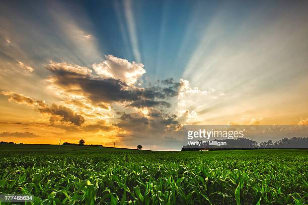 light rays and sunset over french crop field - charente stock pictures, royalty-free photos & images