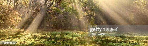 Light rays in forest