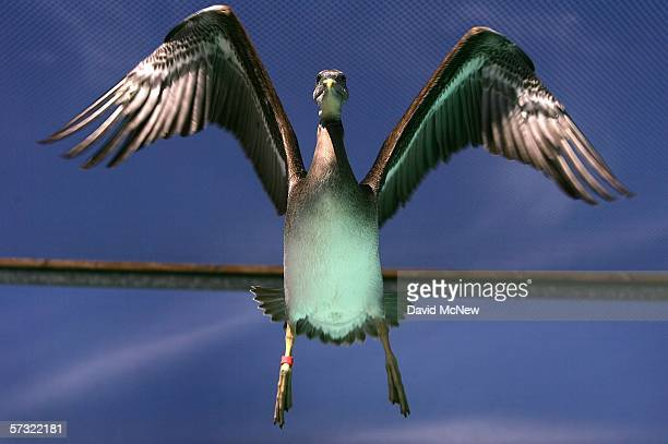 Light reflecting from a pool turns the underside of a flying pelican green as endangered brown pelicans being treated for domoic acid poisoning from...