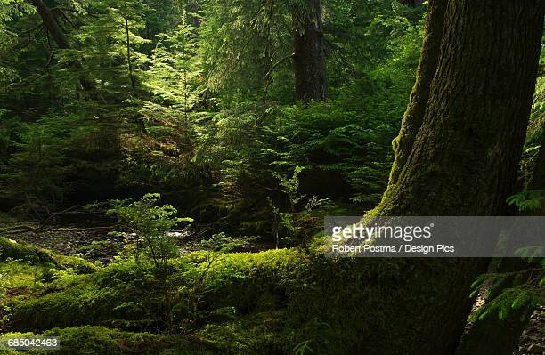 Light shines through the forests of Haida Gwaii