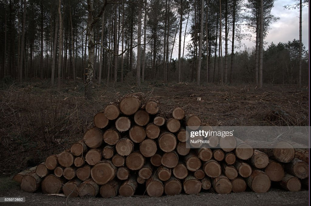 Delamere Forest, England's largest forest : News Photo