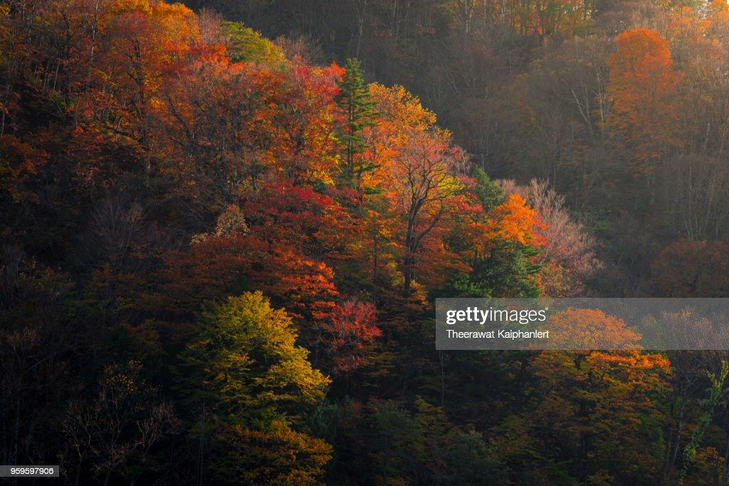 Light shining on beautiful autumn foliage, Tohoku, Japan : Stock-Foto