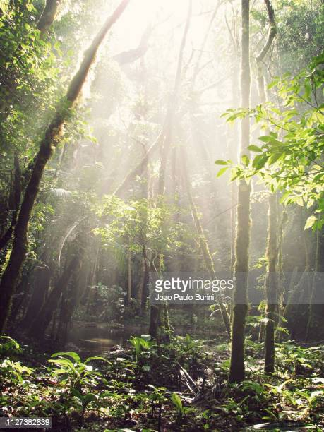 light through the rainforest canopy - südamerika stock-fotos und bilder