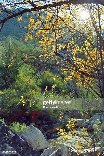 light through the trees in sugaro canyon, arizona - mt lemmon stock photos and pictures
