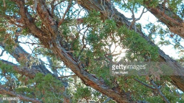 light through western juniper during partial solar eclipse - western juniper tree stock pictures, royalty-free photos & images