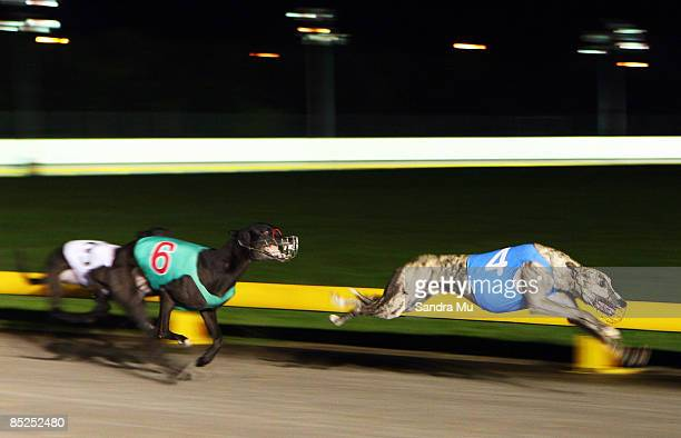 Light Westerly races to win the Carol's Tabs Stake ahead of McCracken during the 2009 Greyhound Auckland Cup meeting at Manukau Greyhound Racing Club...