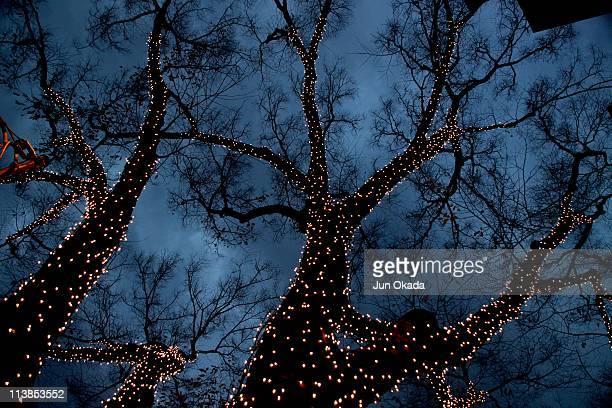 Lightings on zelkova tree
