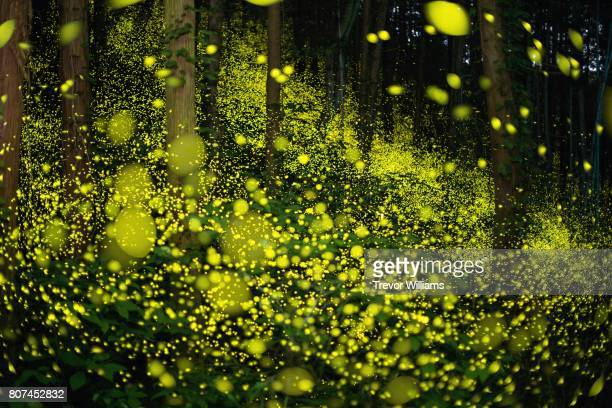 lightning bugs fill the forest with a natural light show. - glowworm stock pictures, royalty-free photos & images