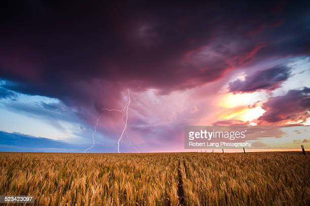 Lightning strikes on sunset over wheat crop