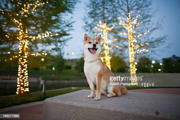 lights, camera, dog! - shiba inu lights stock pictures, royalty-free photos & images