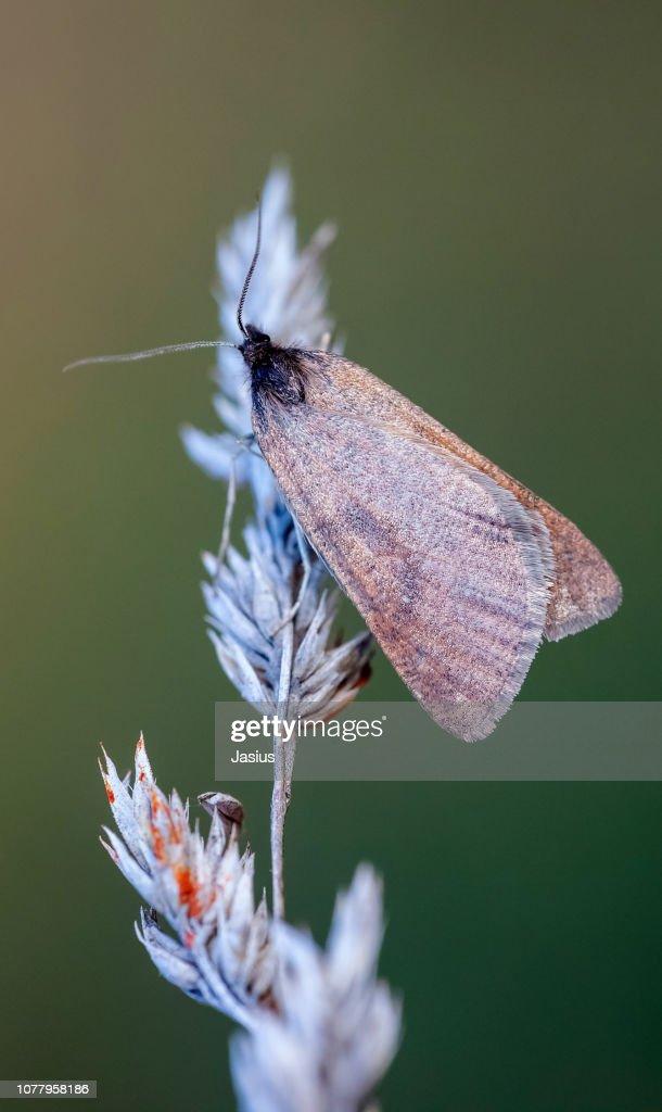 Lignyoptera fumidaria – Somber moth : Stock Photo