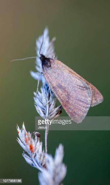 Lignyoptera fumidaria – Somber moth