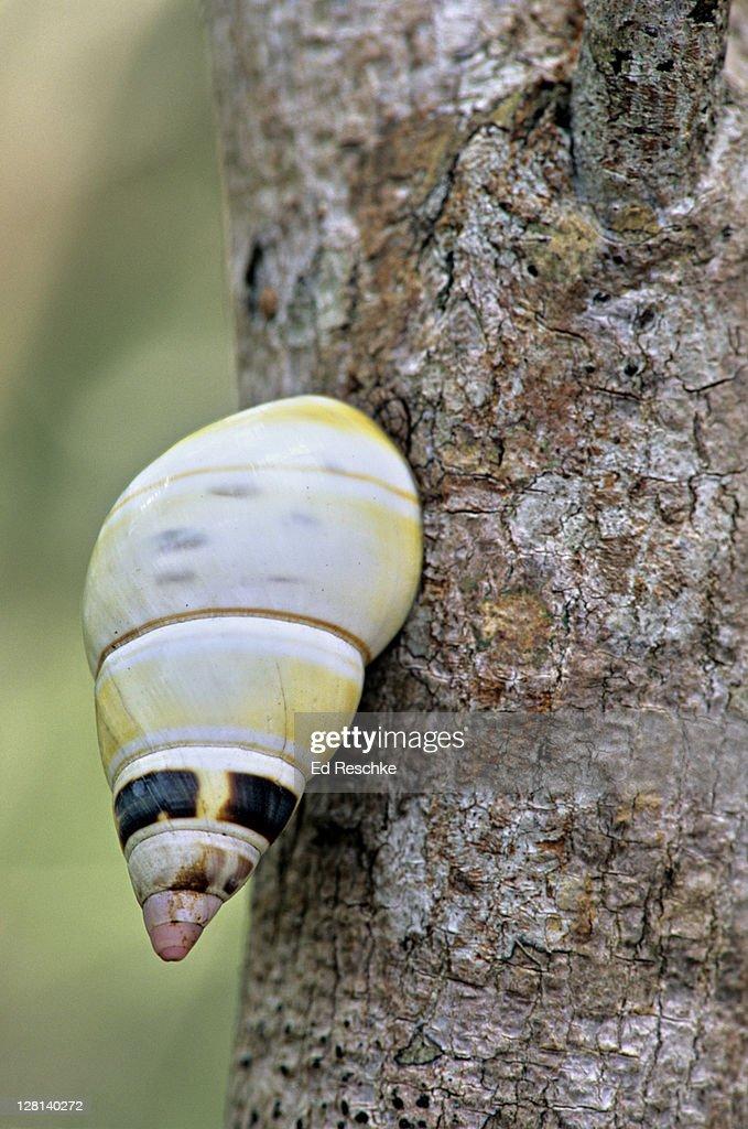 Liguus Tree Snail on tree trunk, Everglades National Park, Florida, USA : Stock Photo