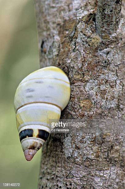 liguus tree snail on tree trunk, everglades national park, florida, usa - ed reschke photography stock photos and pictures