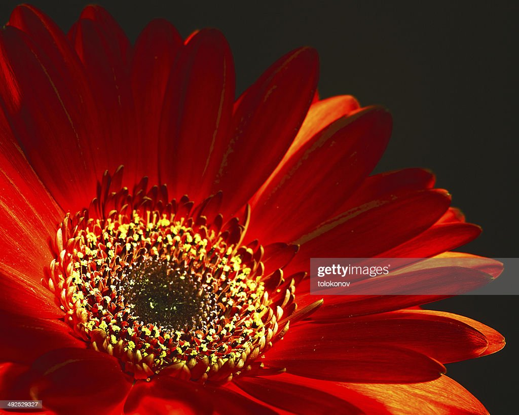Like A Fire Abstract Floral Backgrounds With Red Dahlia Flower