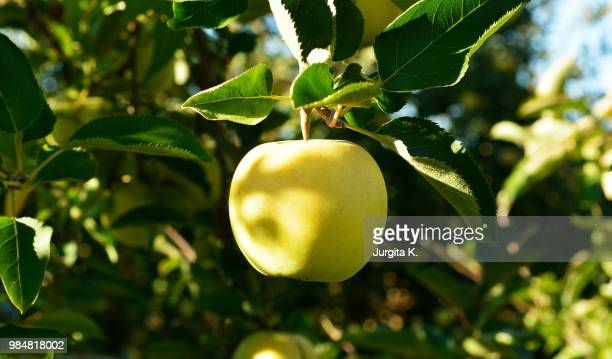 like amber - apple tree stock pictures, royalty-free photos & images