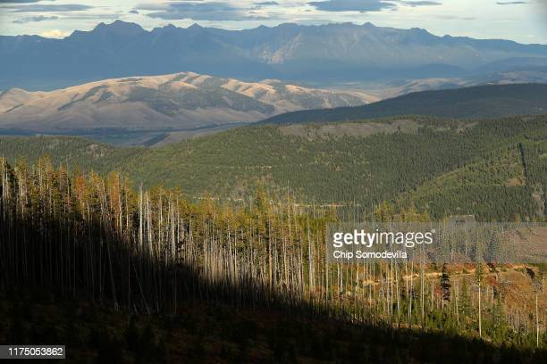 Like gray sticks standing along side living trees mountain beetlekilled lodgepole pine stand at the edge of a logged area along the Reservation...