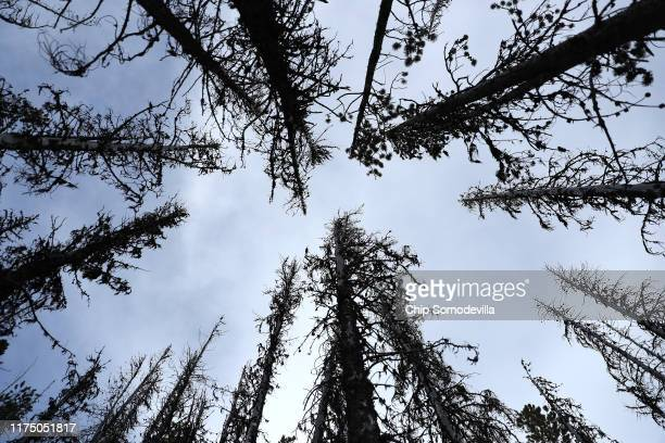 Like scars against the sky a stand of mountain pine beetlekilled lodgepole pine trees rise like gray ghosts along the Reservation Divide September 14...