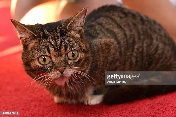 Lil Bub attends the A CATbaret A One Night Only Celebrity Musical Celebration of the Alluring Feline at The Belasco Theater on August 9 2014 in Los...