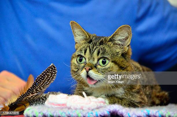 Lil Bub promotes Lil Bub's Lil Book The Extraordinary Life of the most Amazing Cat on the Planet at Bookends Bookstore on September 3 2013 in...