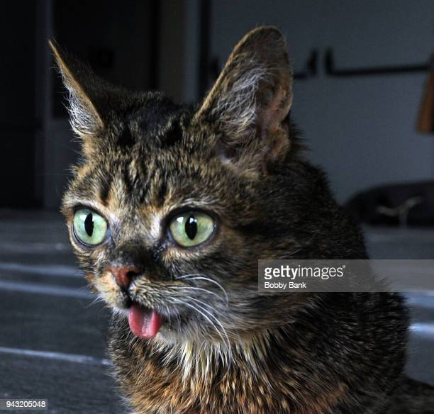 Lil Bub the celebrity cat attends the 2018 Catsbury Park Cat Convention on April 7 2018 in Asbury Park New Jersey