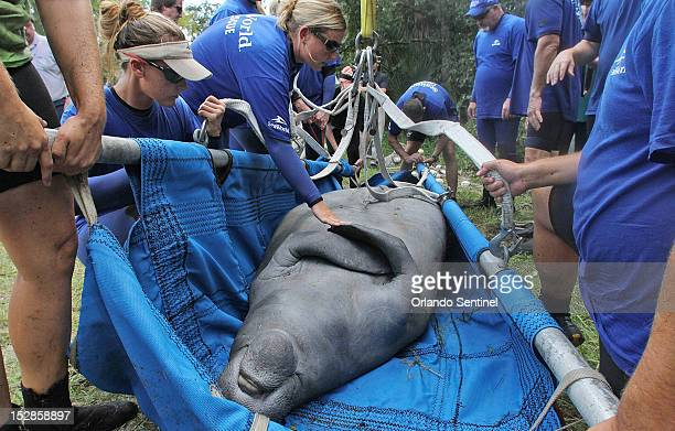 Lil' Joe, a wayward manatee rescued by Florida Fish and Wildlife Conservation Commission, Sea World and Sea to Shore, on Thursday, September 27 from...